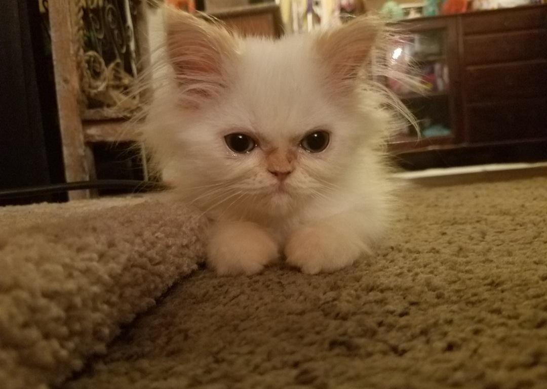 Mr. P. as a kitten
